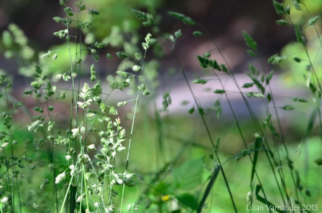 Grönare gräs