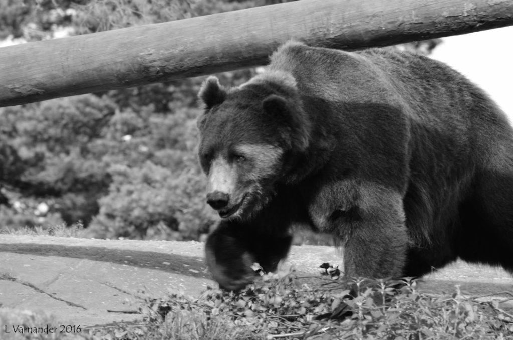 Björn frammåt