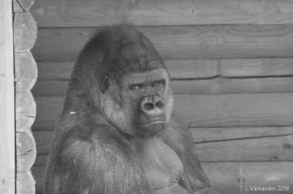 Gorilla blick