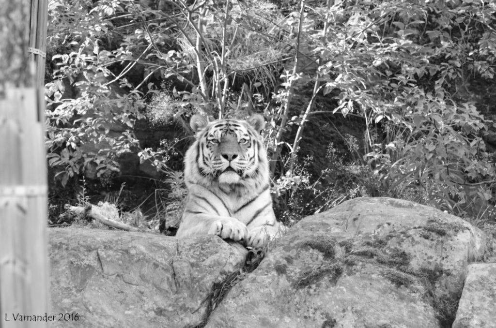 Tiger ögonkontakt