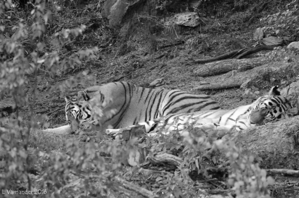 Tiger relax